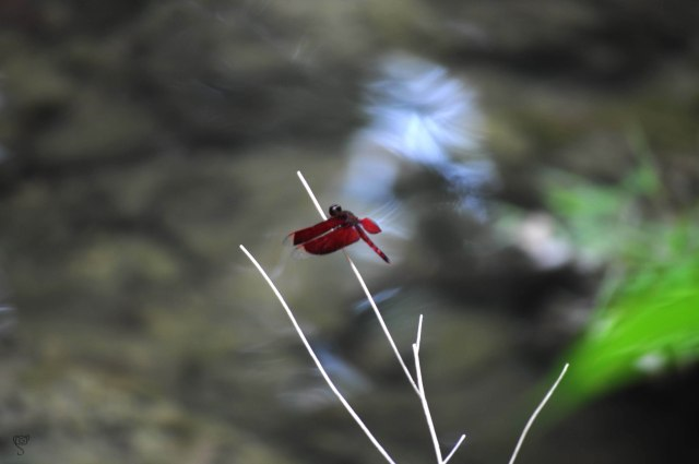 Red Dragonfly in White Surf Waterfall