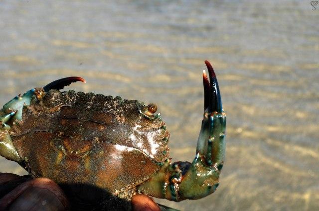 Neptune Crab