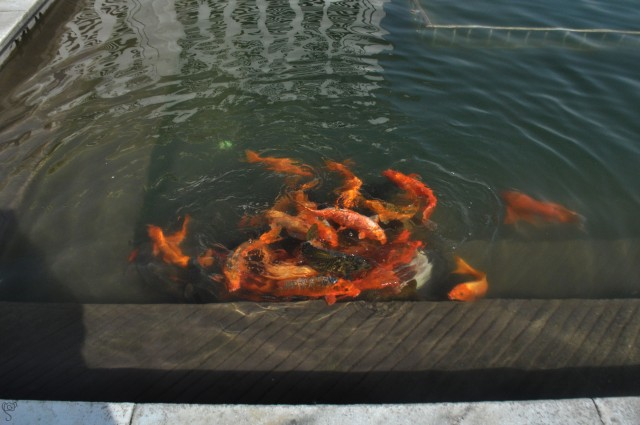 Fishes in the holy pond of Golden Temple