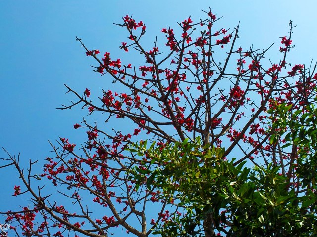 The red silk cotton tree