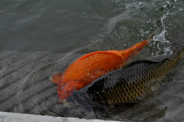 Japanese Koi Fish in Amrit Sarovar