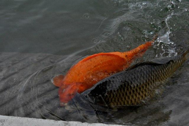 Japanese Koi Fish in Amrit Sarovar
