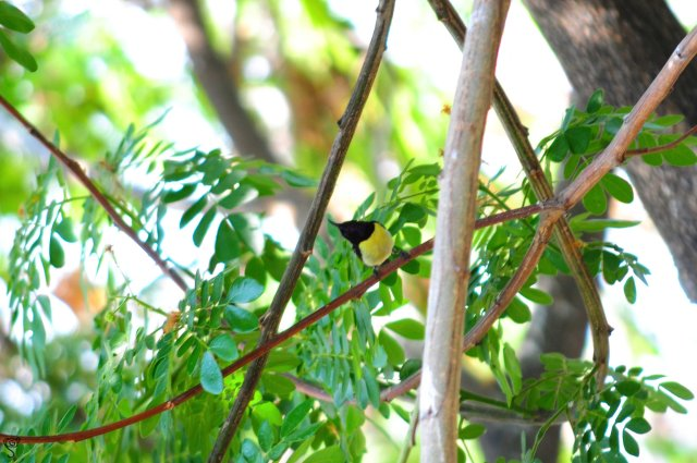 The female Purple Sunbird