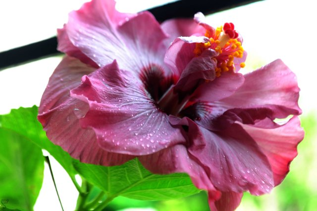 Hibiscus of my garden