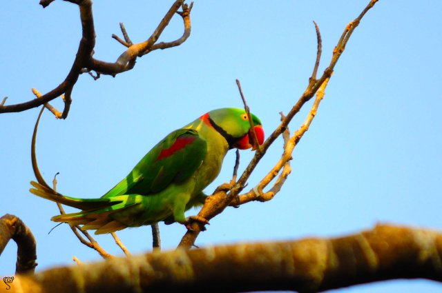 The leader of the Alexandrine Parakeets