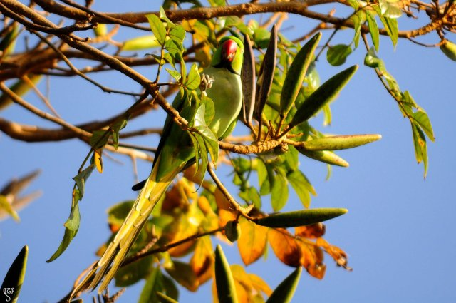 The Parakeet with its favourite fruit