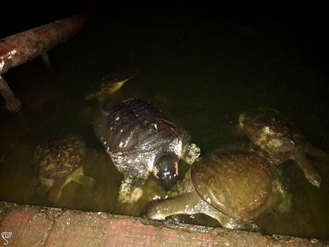 Large number of tortoises in Kalyan Sagar