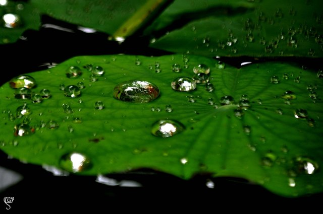 Water droplets on the lotus leave