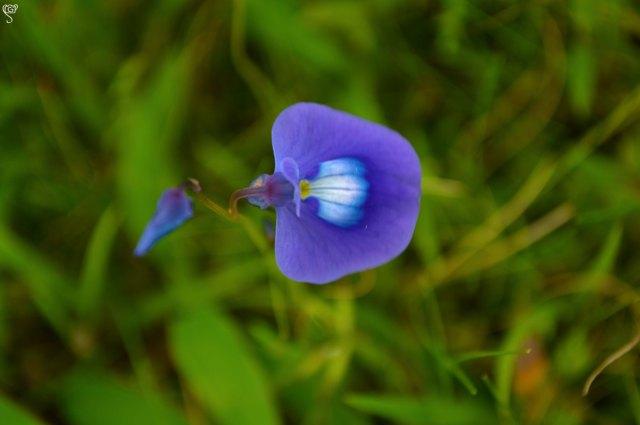 Utricularia purpurascens