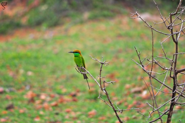 The green Bee-eater