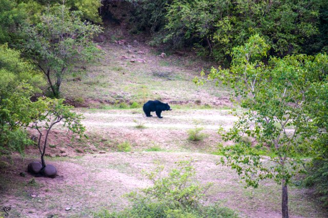 The Sloth Bear that obliged us by coming down from his hill