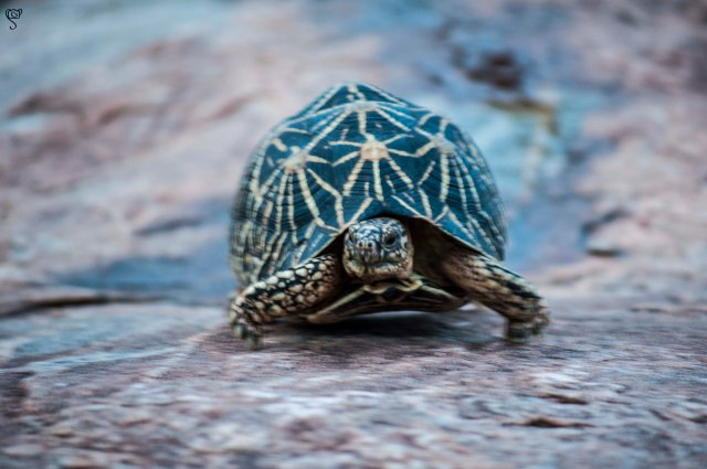 The Star Tortoise