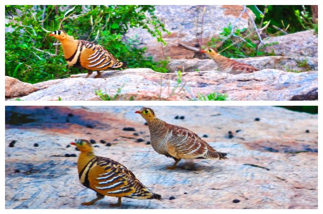 Painted Sandgrouse couple pose happily (Male with the neck band)