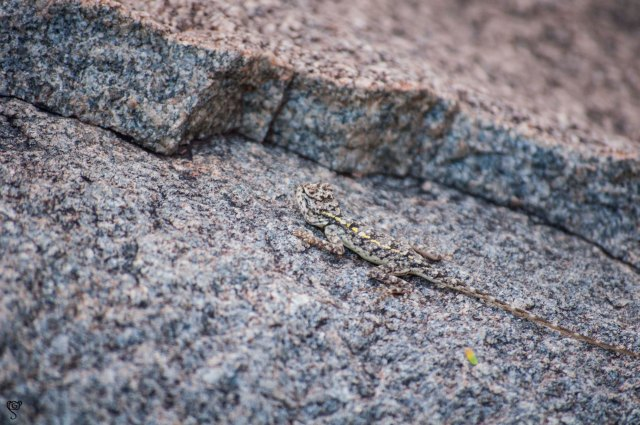 A Gecko, camouflaged in the rocks