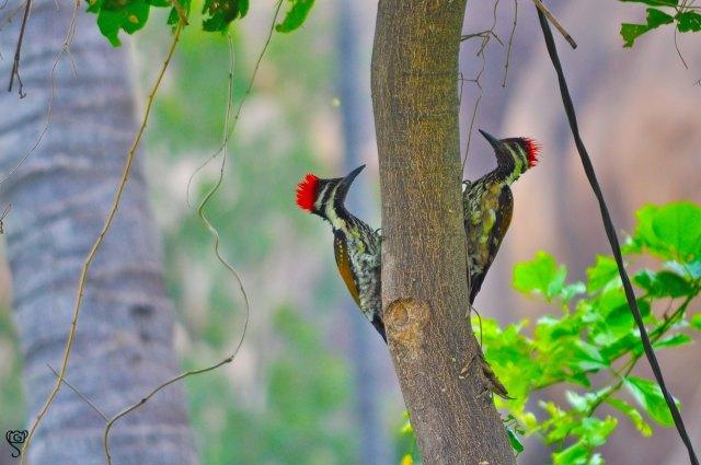 Black-rumped Flameback Woodpecker