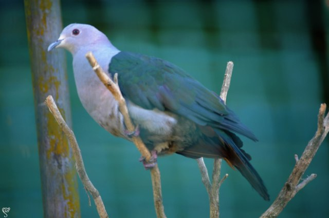 Andaman Wood Pigeon, the state bird of Andaman