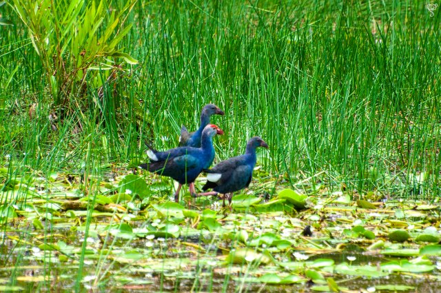 Grey Headed Swamp Moorhen