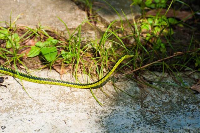 Green Bronzeback Snake