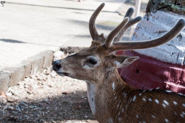 The kulfi loving Deer