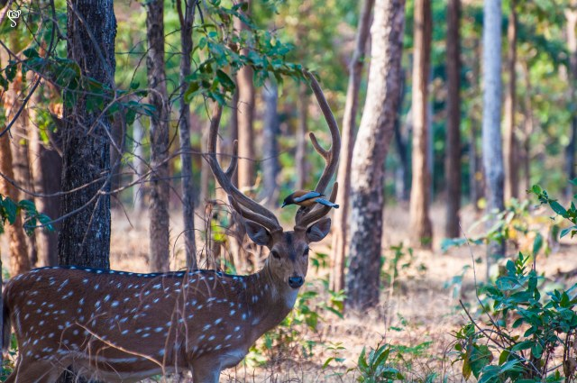 A spotted deer with a Rufous Treepie