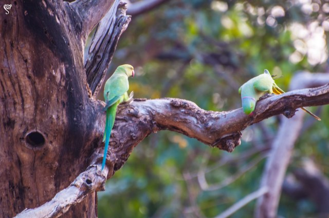 The rose-ringed parakeet couple
