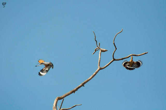 Hoopoe in flight