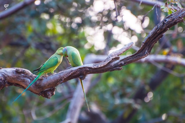 The Parakeet couple