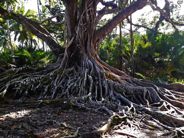 The Big Banyan near the Cemetery