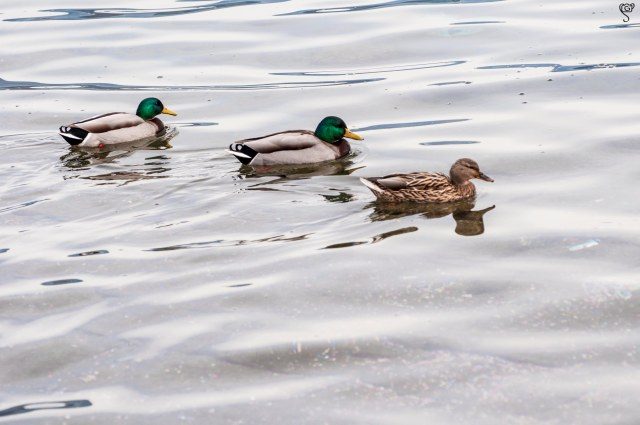 Mallard duck males and female