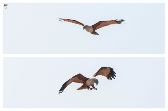 Brahmini Kite with its catch