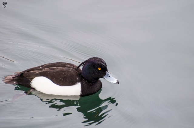 Adult male tufted duck