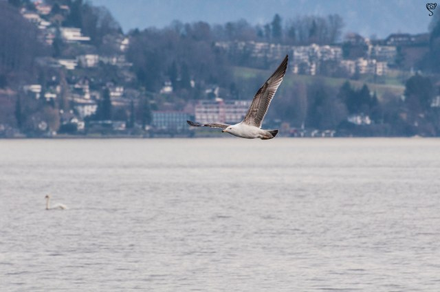 Lake Lucerne with a Greater Black-backed Gull