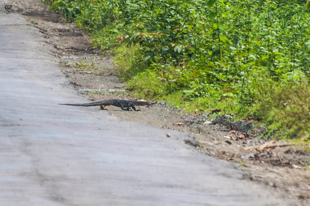 Monitor lizard crossing the road taken from a distance