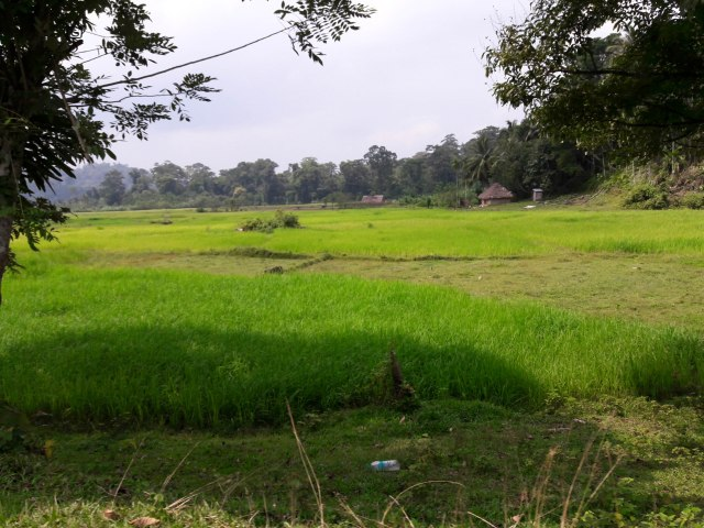 Rice in the predominant cultivable crop here