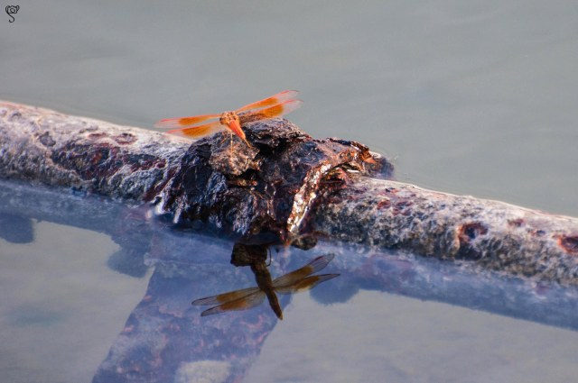 The Dragon Fly quietly rests on the water pipe