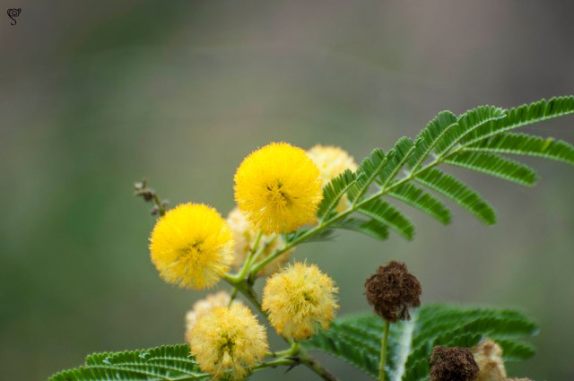 The bright yellow acacia flower seemed even brighter