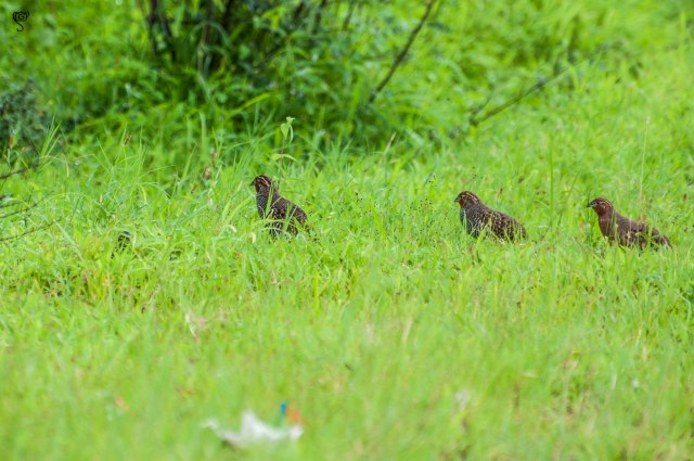 Bush Quail marching ahead