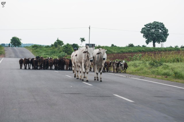 Herd pass by the road frequently