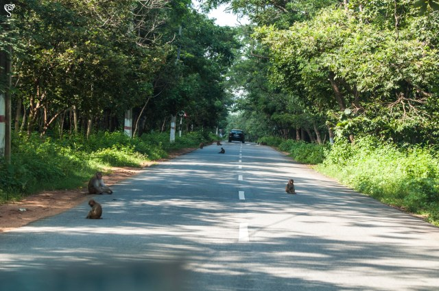 Monkey speed breaker... This is how they wait for the food