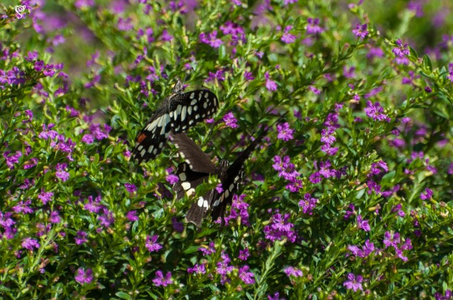 A pair of butterfly fluttering on the bright little flowers