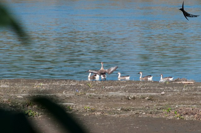 A flock of Duck in the Brahmaputra