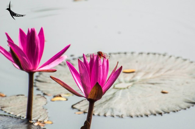 Dragonfly on waterlily, the national flower of Bangladesh