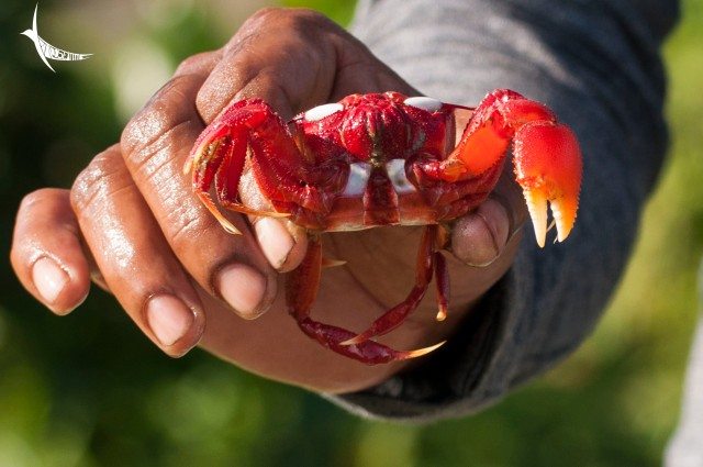 Red Crab in Aalam's hand
