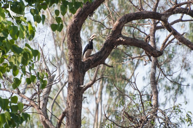 Malabar Pied Hornbill with a small insect catch
