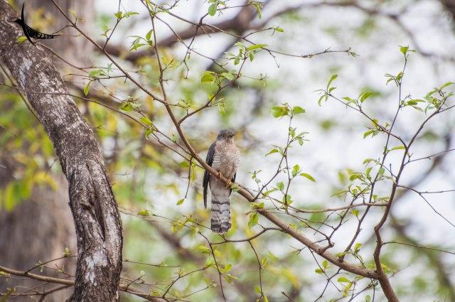 A Hawk Cuckoo