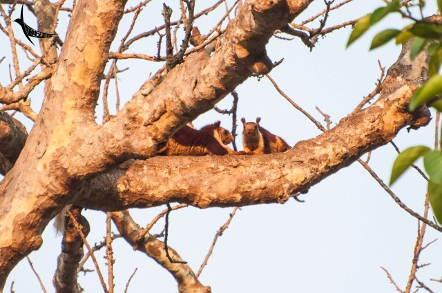 The malabar giant squirrels busy in conversation