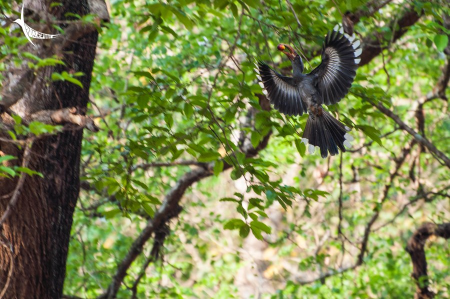 Malabar Grey Hornbill carrying a fruit back to its nest
