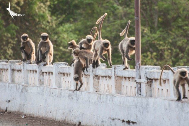 Busy langurs