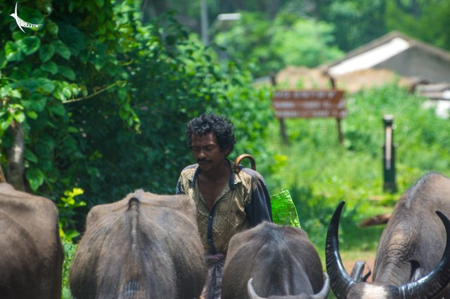 An Indian cowboy driving his herd