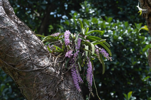 The bright orchids on some huge tree
